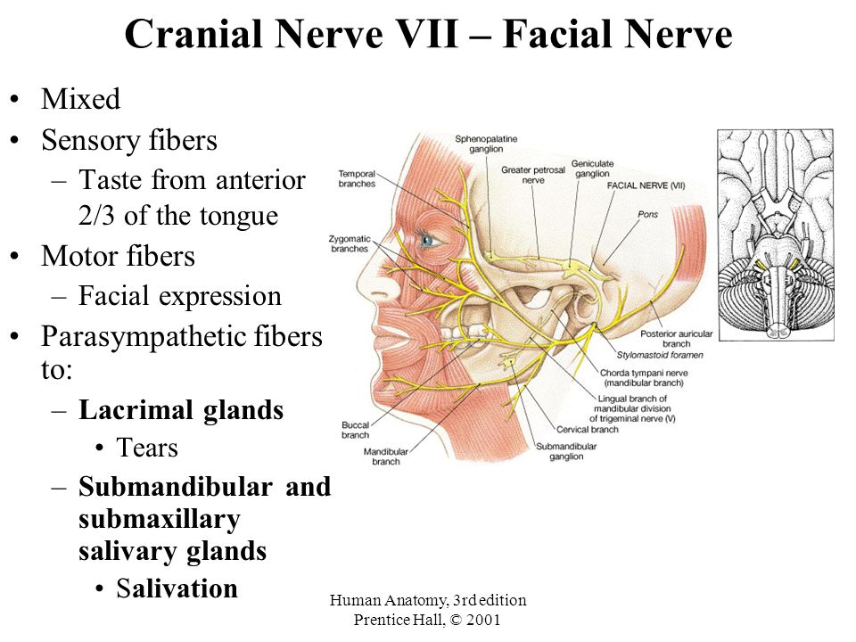 Perfect Cranial Nerve 7 Anatomy Adornment Anatomy And Physiology