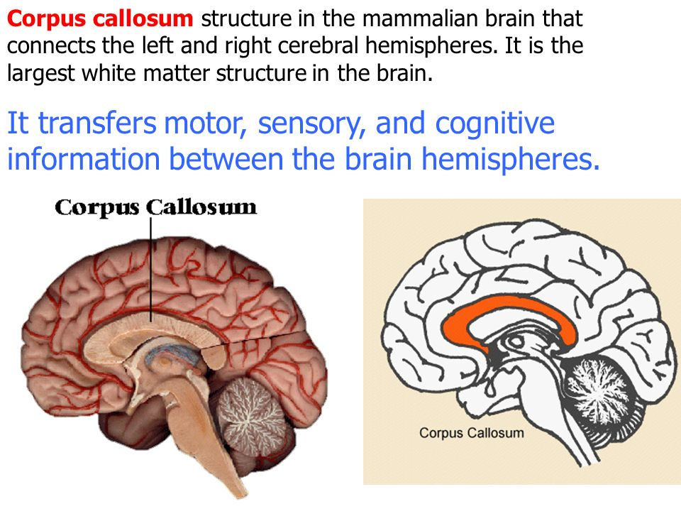 Brain functions next quiz ppt video online download corpus callosum structure in the mammalian brain that connects the left and right cerebral hemispheres ccuart Images