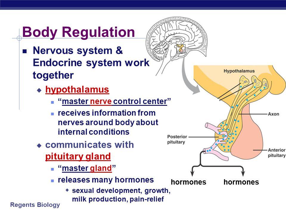 Endocrine system hormones reproduction ppt video online download body regulation nervous system endocrine system work together ccuart Image collections