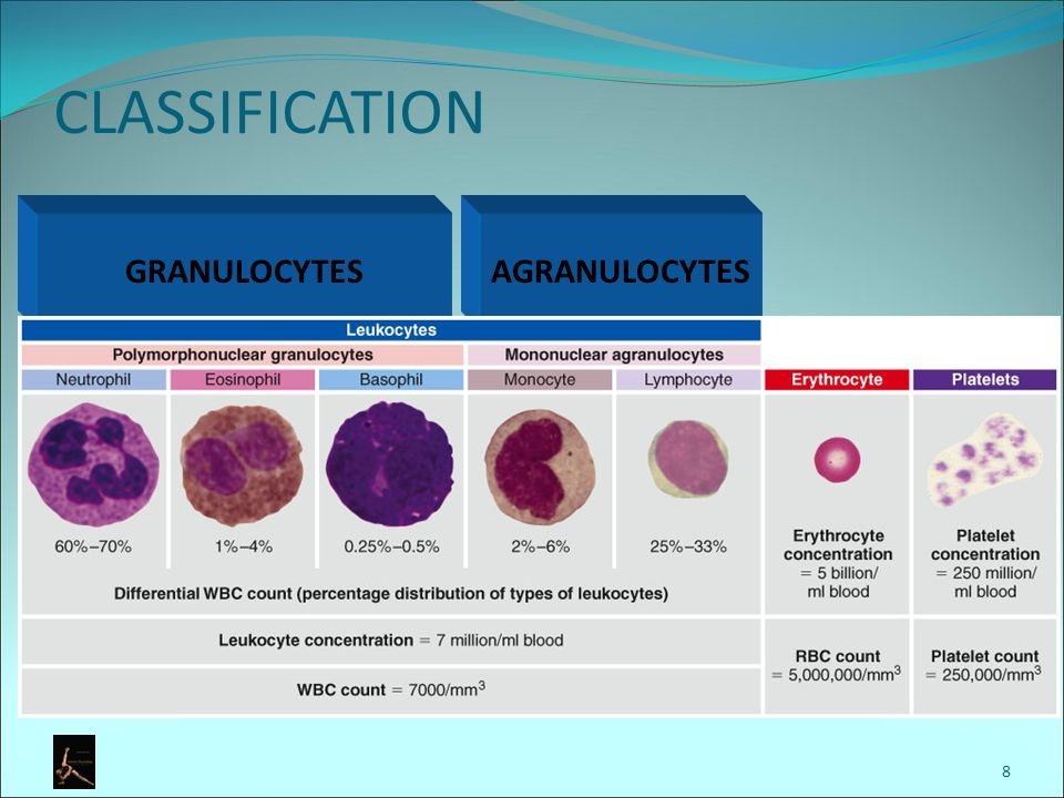 what are granulocytes and agranulocytes