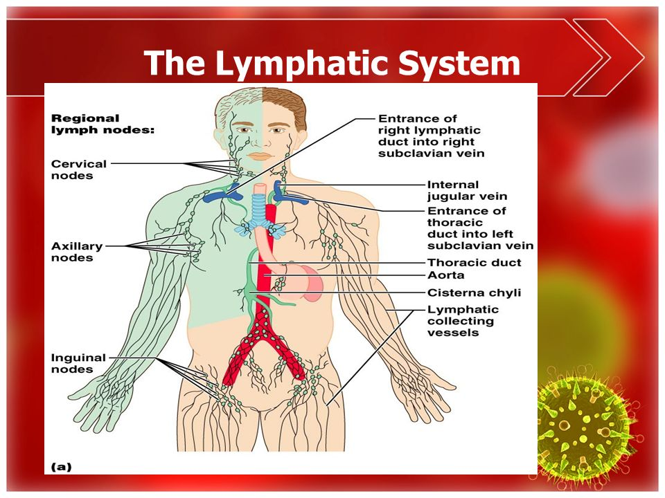 The Lymphatic System Anatomy & Physiology. - ppt download
