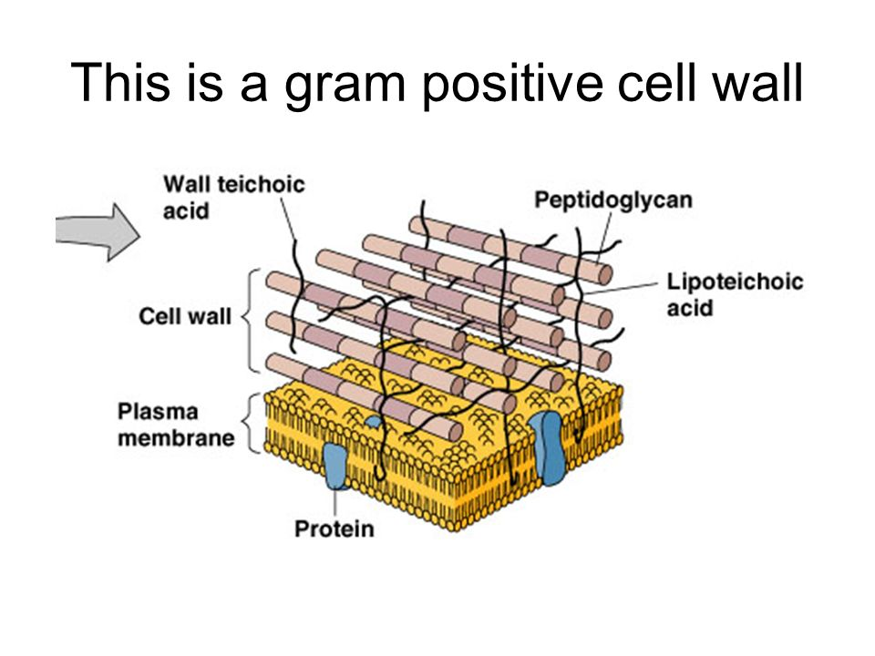 Labelled diagram of gram positive cell wall block and schematic label the following parts of the cell ppt video online download rh slideplayer com cell wall gram positive bacteria cell wall gram stain ccuart Image collections