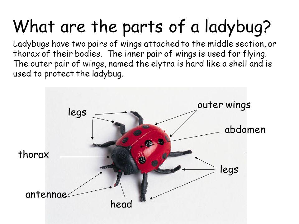 Ladybug Anatomy Diagram - Basic Guide Wiring Diagram •