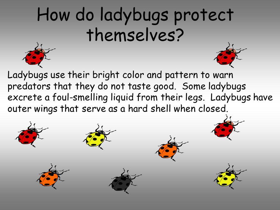 Ladybugs. - ppt download - photo#29