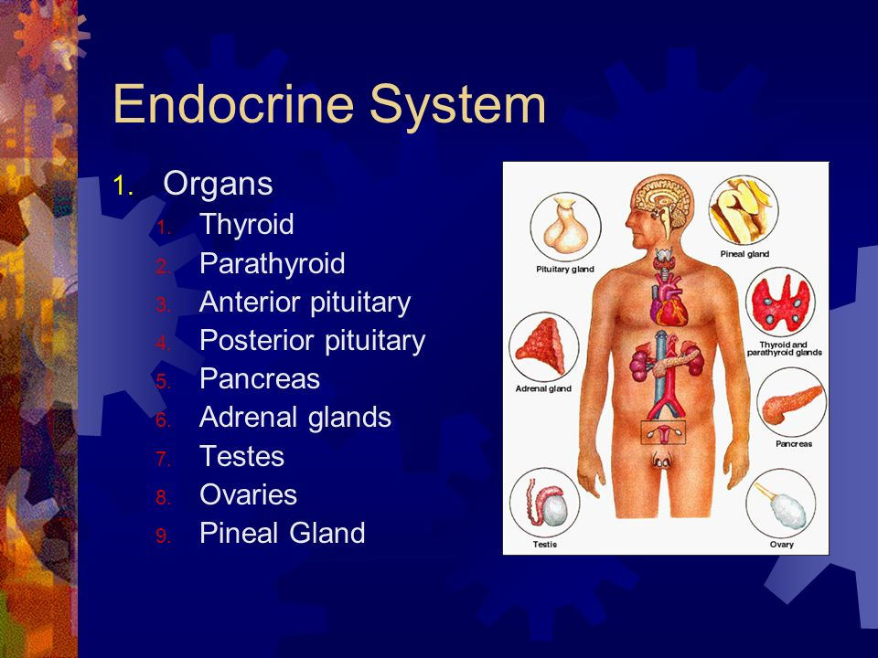 Endocrine System Organs Thyroid Parathyroid Anterior pituitary