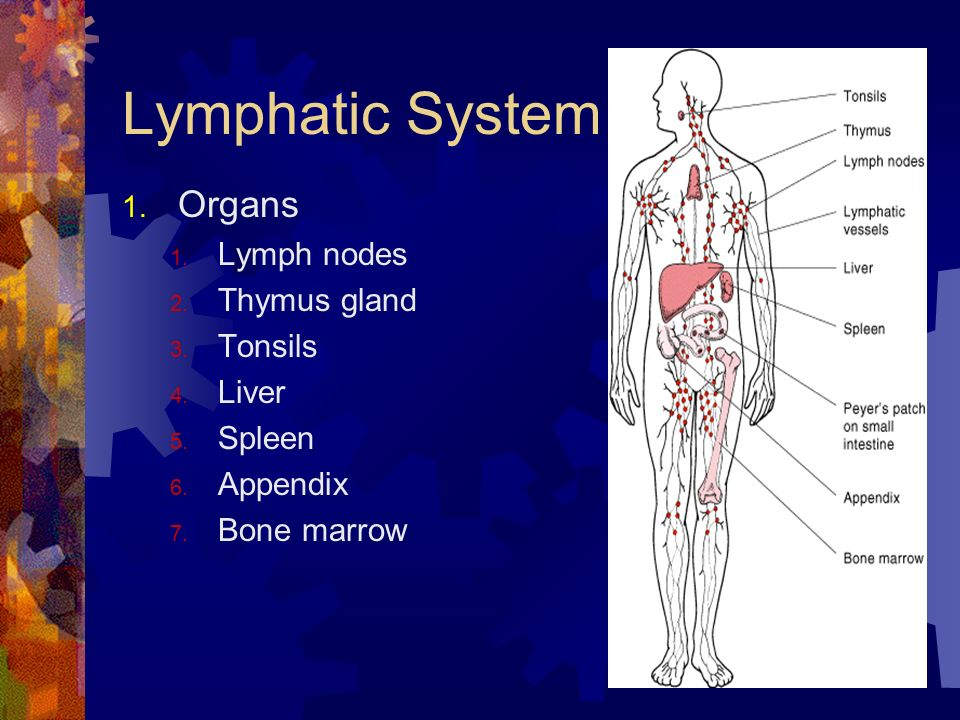 Lymphatic System Organs Lymph nodes Thymus gland Tonsils Liver Spleen