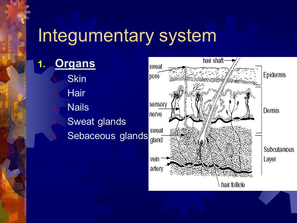 Integumentary system Organs Skin Hair Nails Sweat glands
