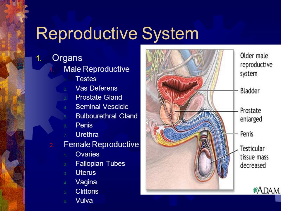 Reproductive System Organs Male Reproductive Female Reproductive