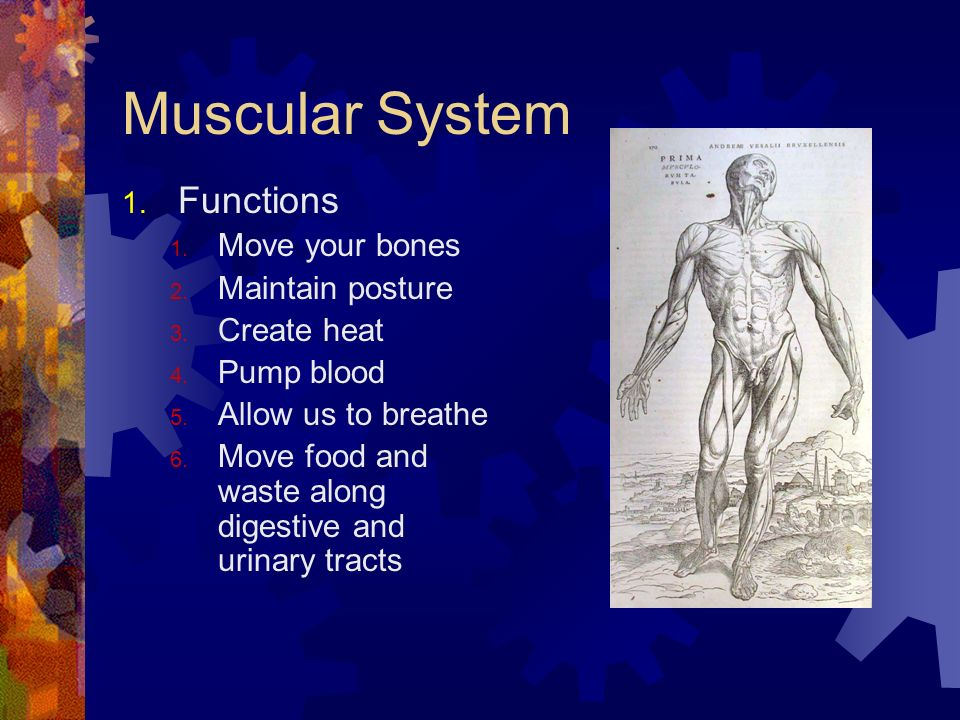 Muscular System Functions Move your bones Maintain posture Create heat