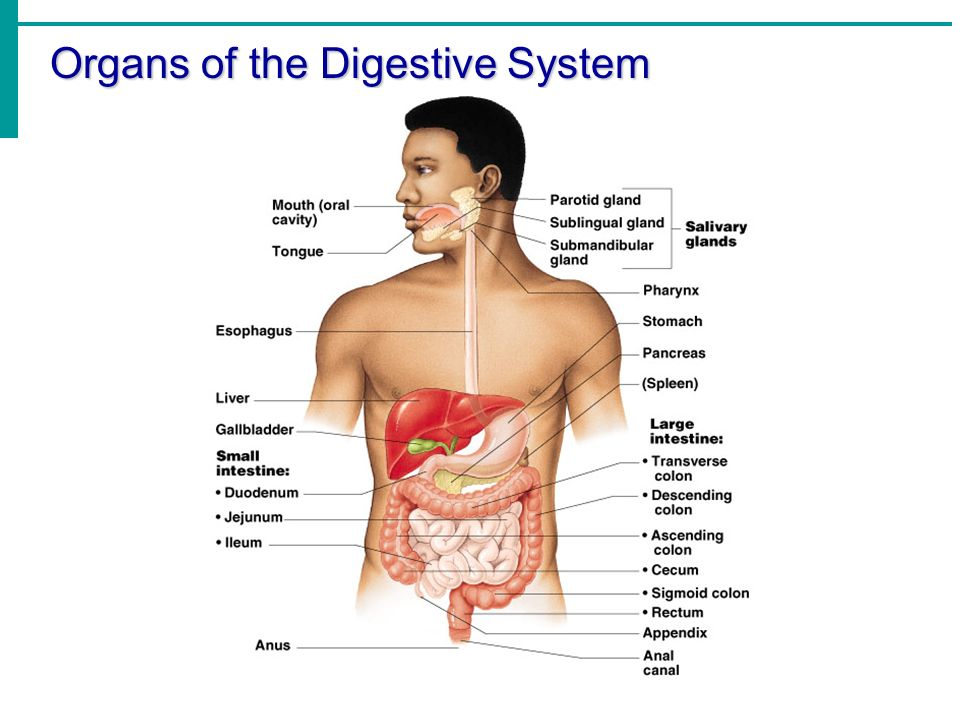 Chapter 14 Part 1 The Digestive System Ppt Download