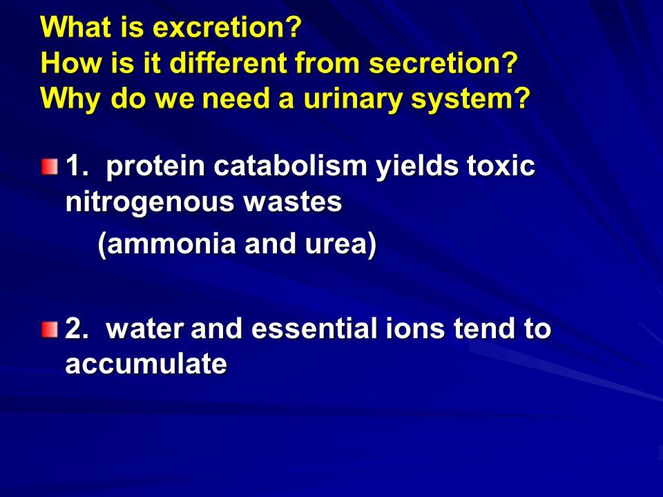 Urinary System A Kidneys C Ureters 1 External Anatomy 1