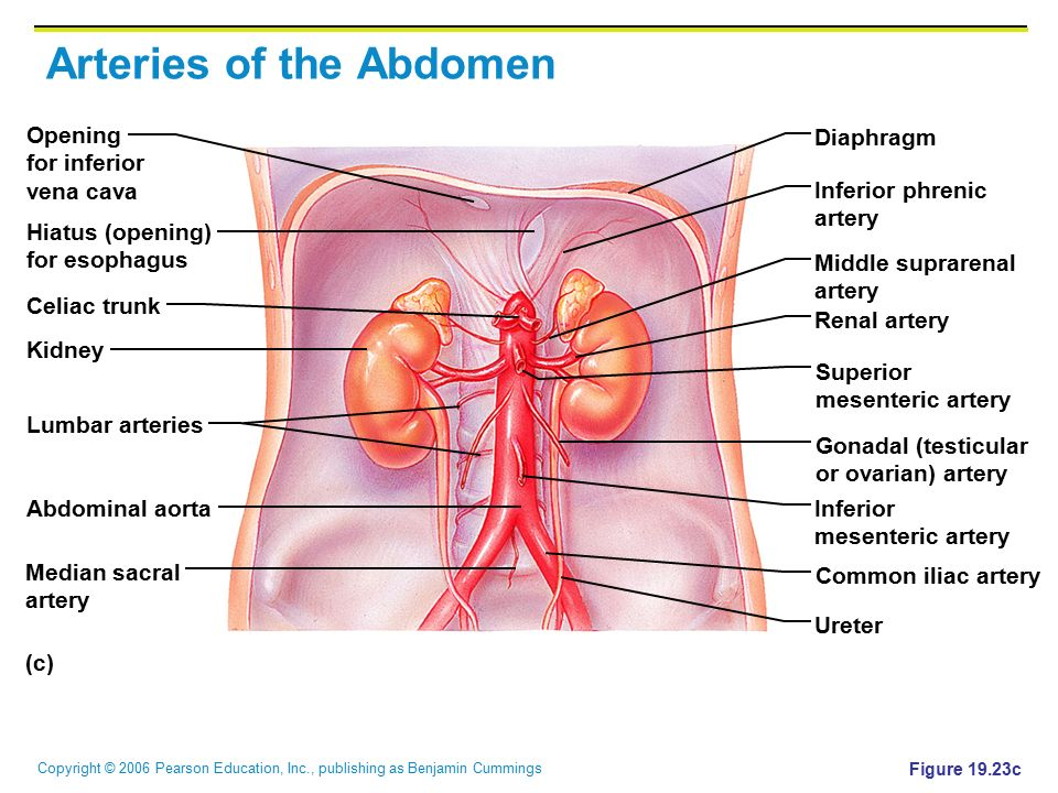 Abdominal Arterial System Diagram Block And Schematic Diagrams