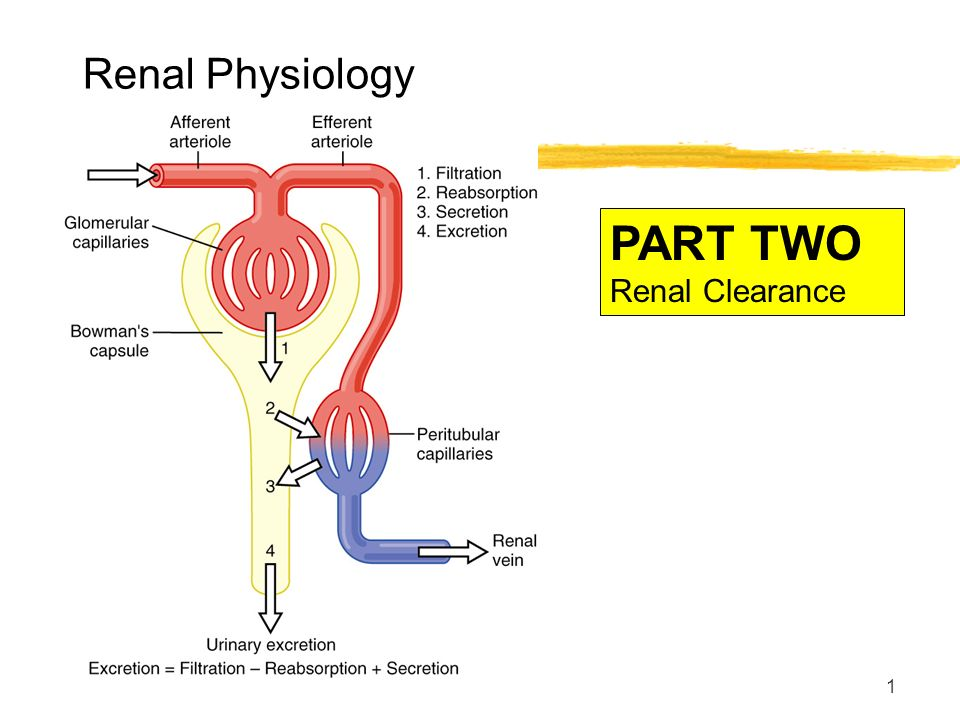 Renal physiology ppt
