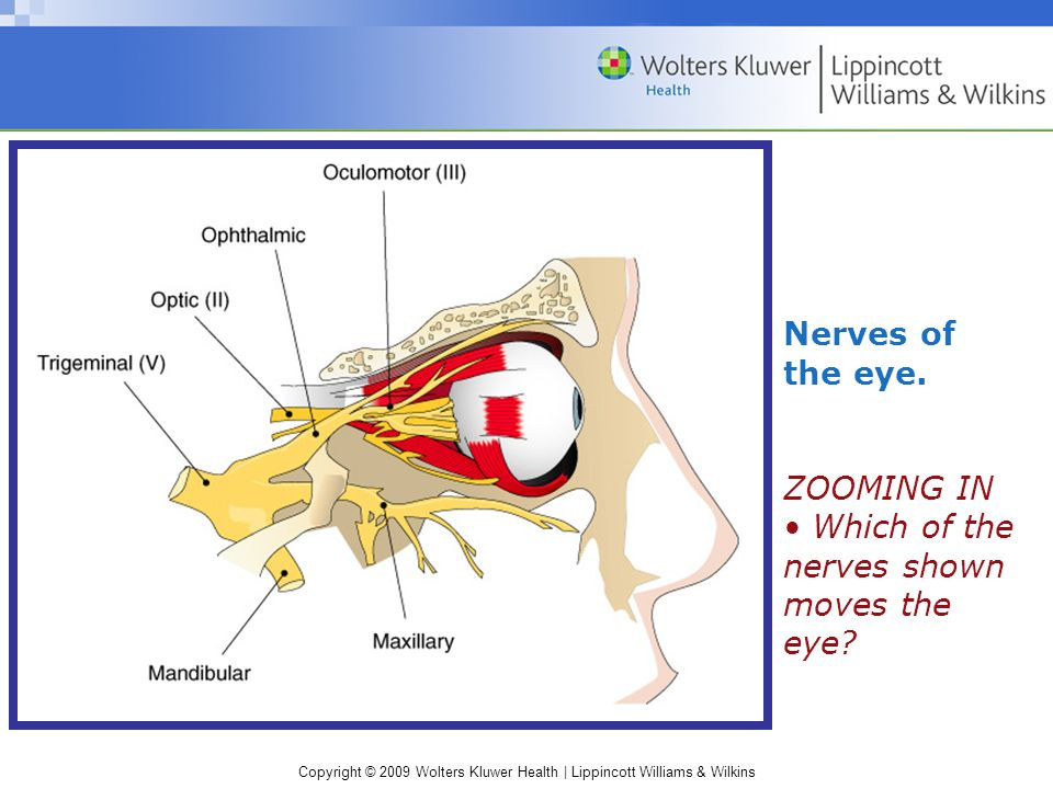 Nerves of the eye. ZOOMING IN • Which of the nerves shown moves the eye