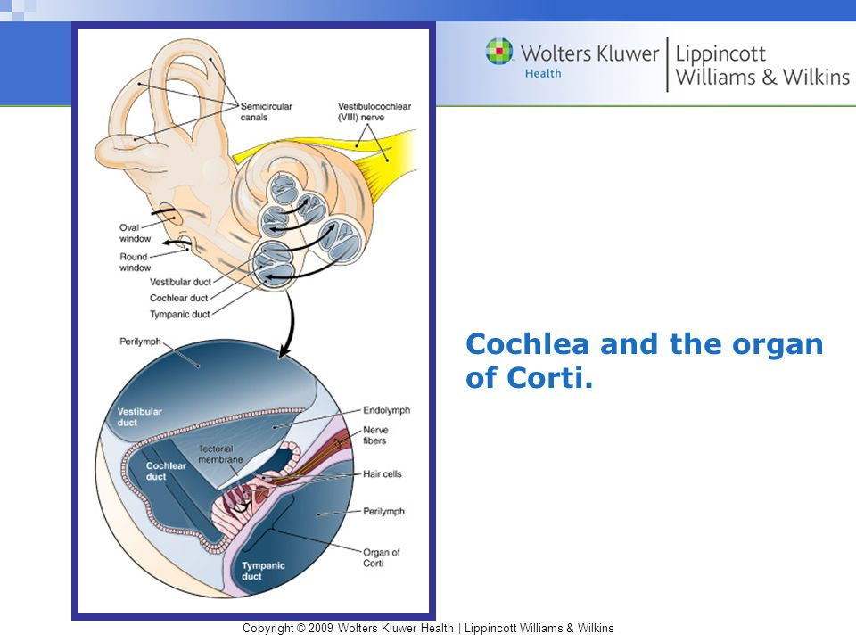 Cochlea and the organ of Corti.