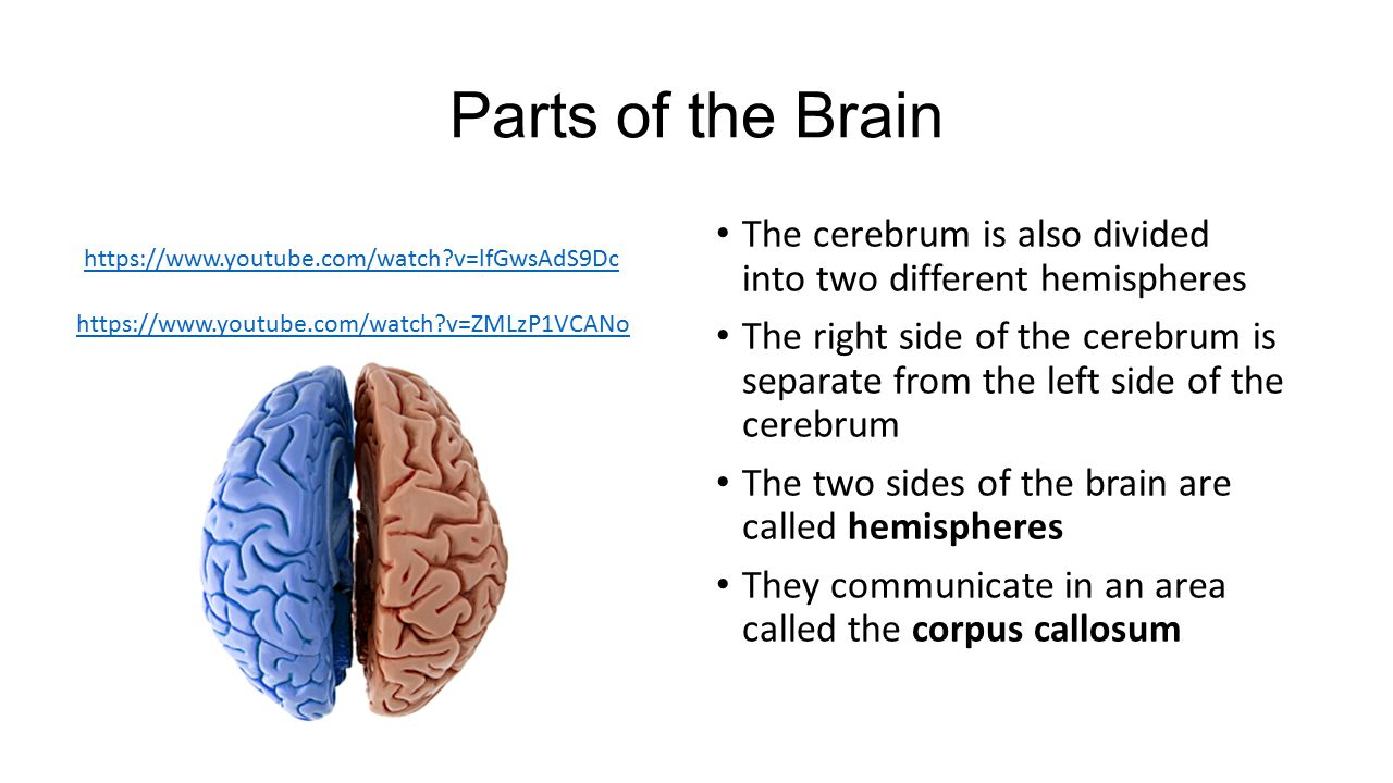 a study on two sides of the brain Myth left brain and right brain people differ fact the contention that we have a rational left brain and an intuitive, artistic right side is fable: humans use both hemispheres of the.