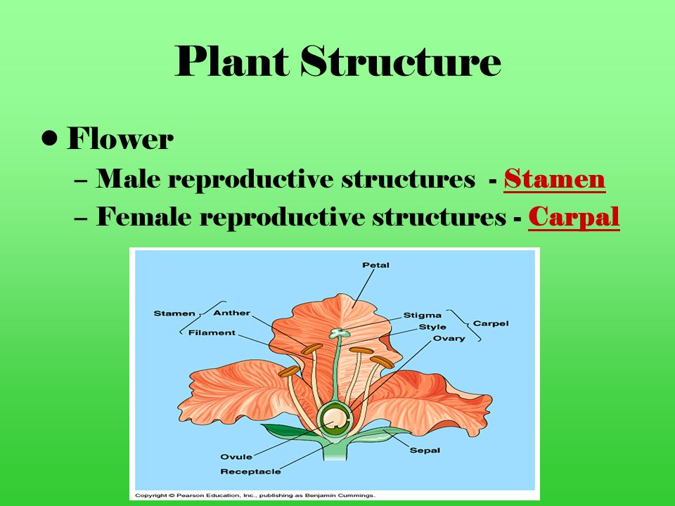 Plant Structure Flower Male reproductive structures - Stamen