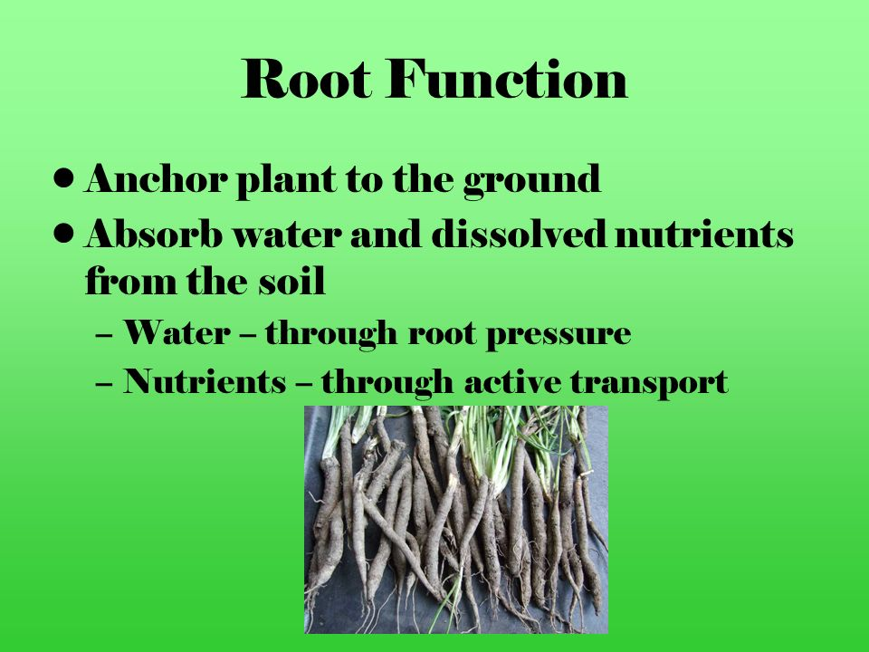 Root Function Anchor plant to the ground