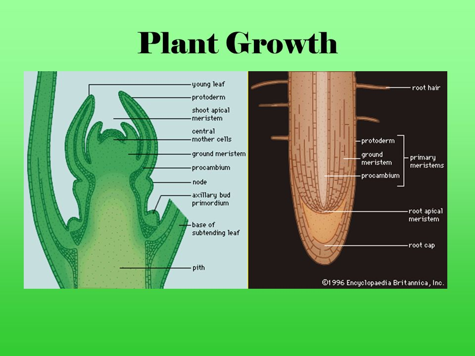 Plant Growth Most plants grow and produce new cells at the tips of their roots and stems for as long as they live.
