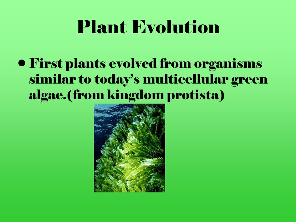 Plant Evolution First plants evolved from organisms similar to today's multicellular green algae.(from kingdom protista)