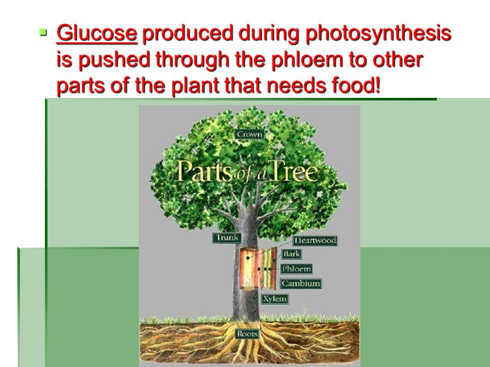 Glucose produced during photosynthesis is pushed through the phloem to other parts of the plant that needs food!