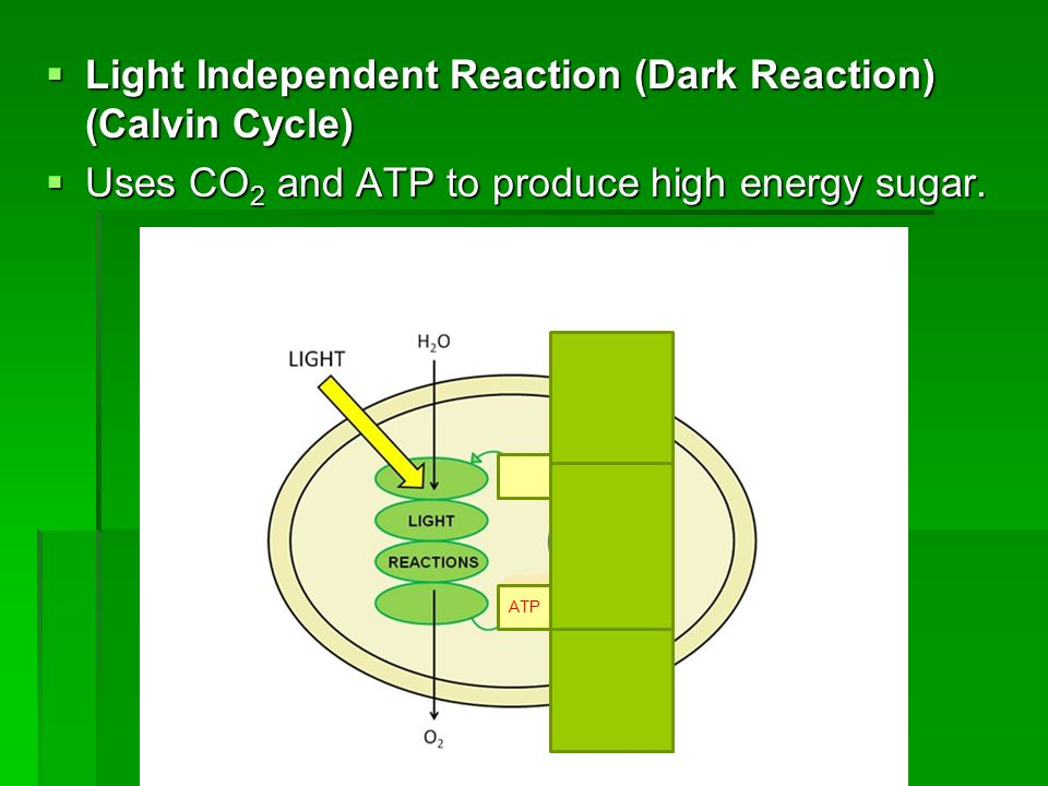 Light Independent Reaction (Dark Reaction) (Calvin Cycle)