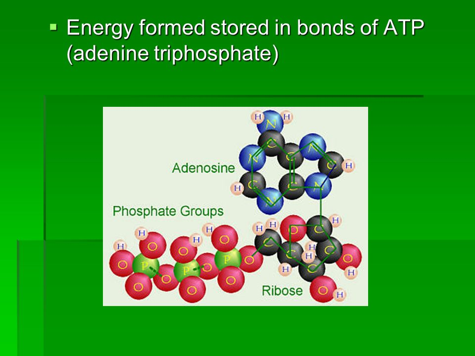 Energy formed stored in bonds of ATP (adenine triphosphate)