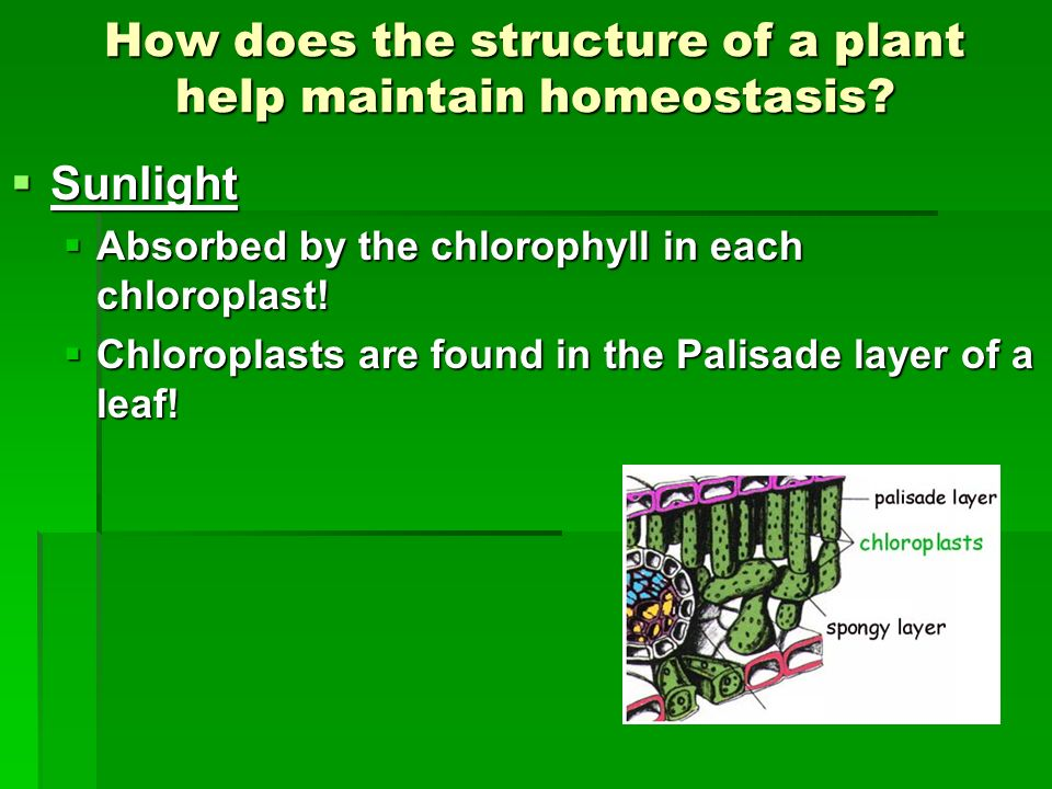 How does the structure of a plant help maintain homeostasis