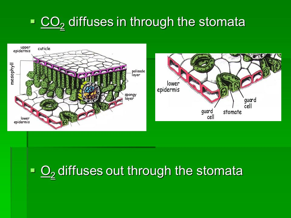 CO2 diffuses in through the stomata