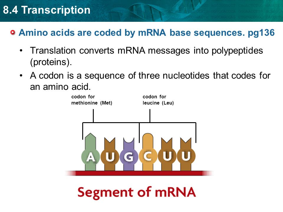 Amino acids are coded by mRNA base sequences. pg136