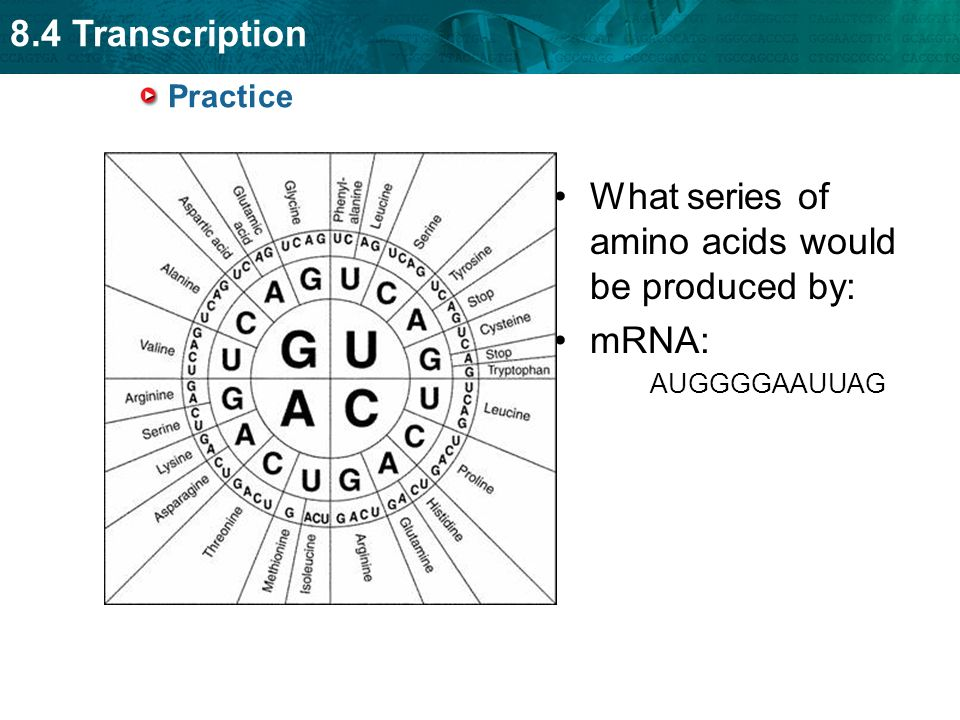 What series of amino acids would be produced by:
