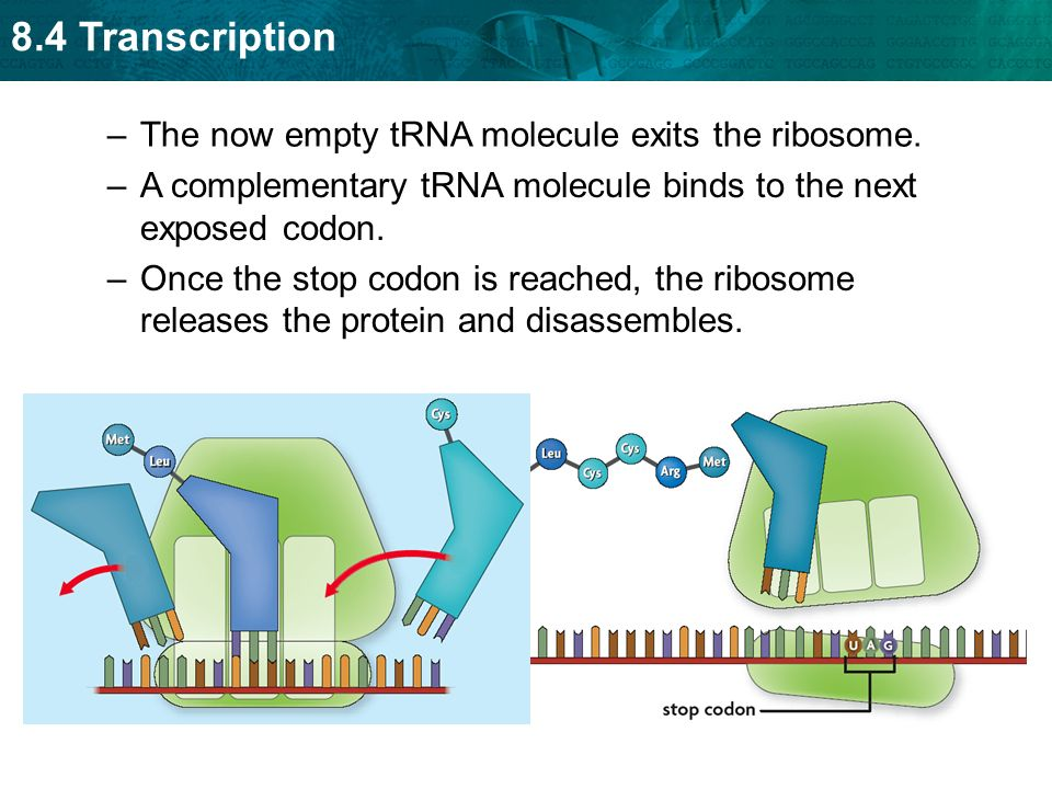 The now empty tRNA molecule exits the ribosome.