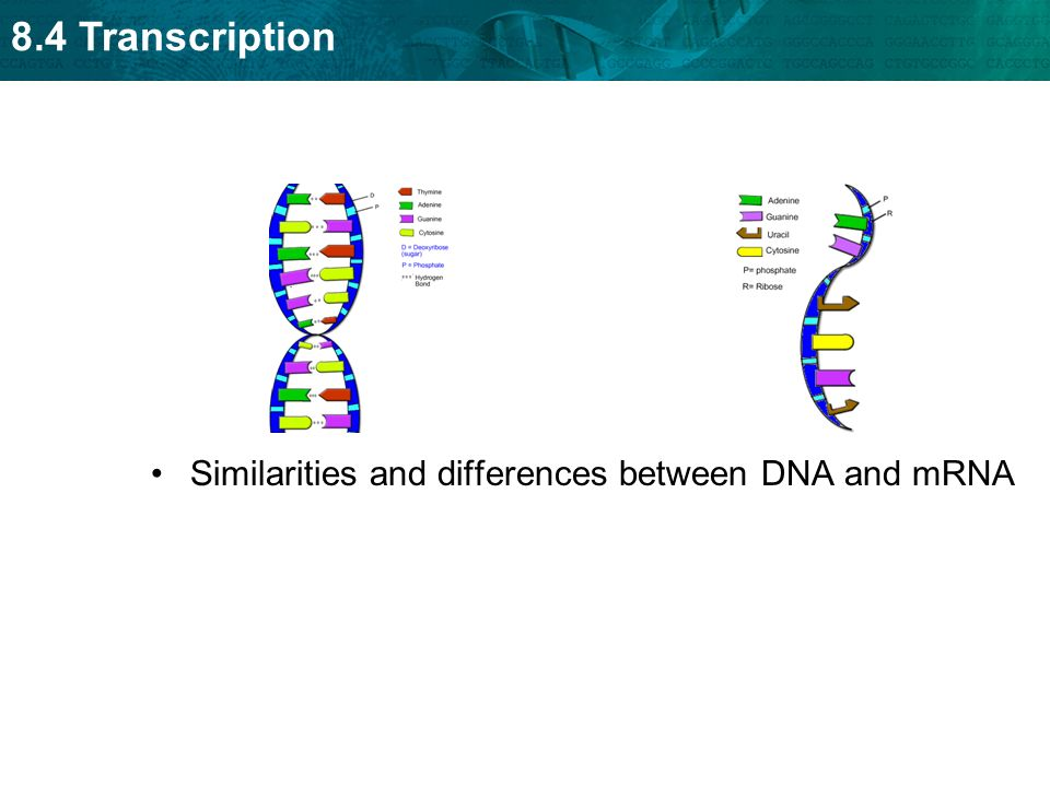 Similarities and differences between DNA and mRNA