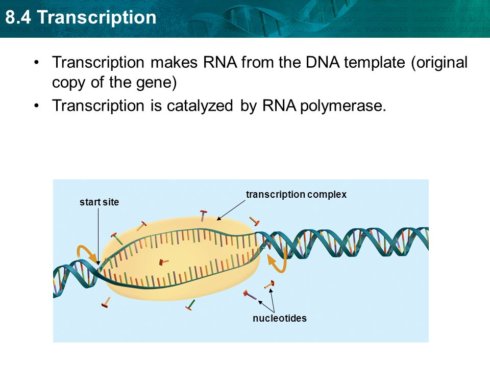 Transcription is catalyzed by RNA polymerase.