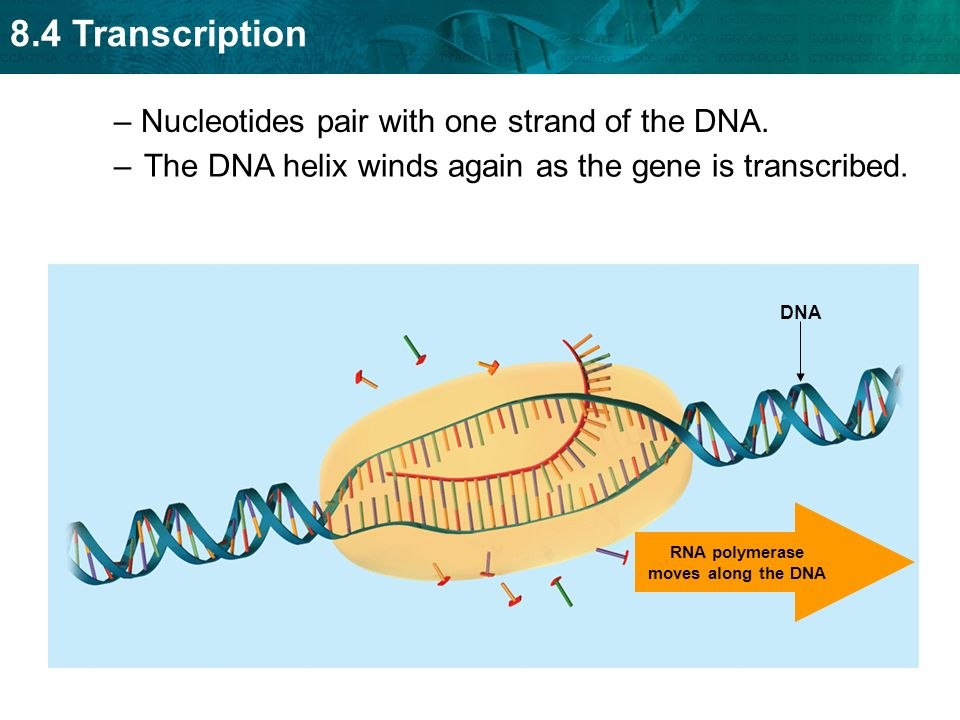 RNA polymerase moves along the DNA