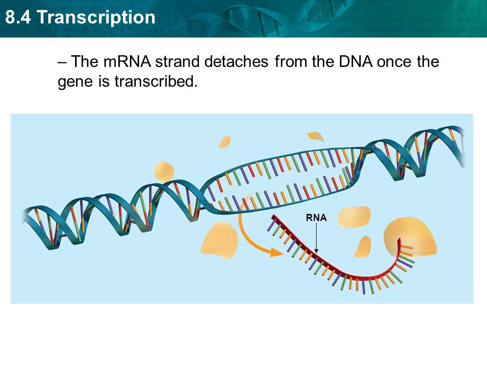 The mRNA strand detaches from the DNA once the gene is transcribed.