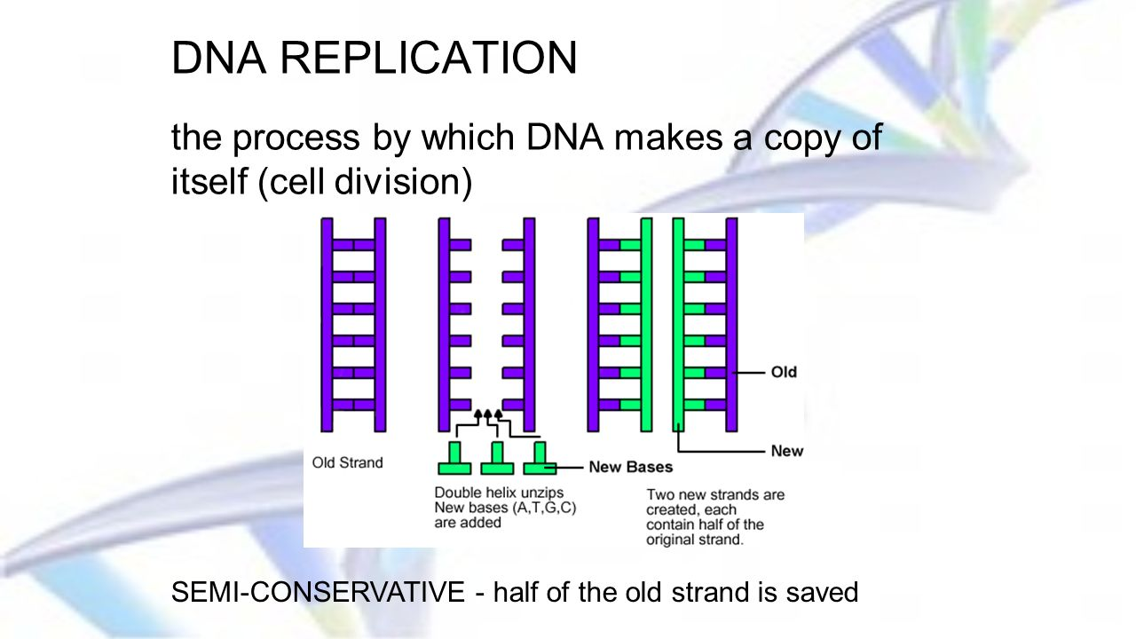 Dna the blueprint of life ppt video online download 18 dna replication malvernweather Images