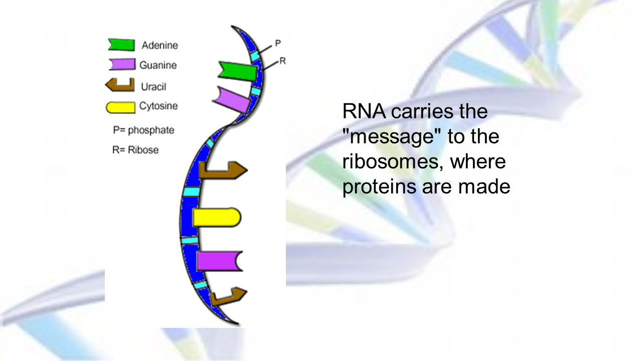 RNA carries the message to the ribosomes, where proteins are made