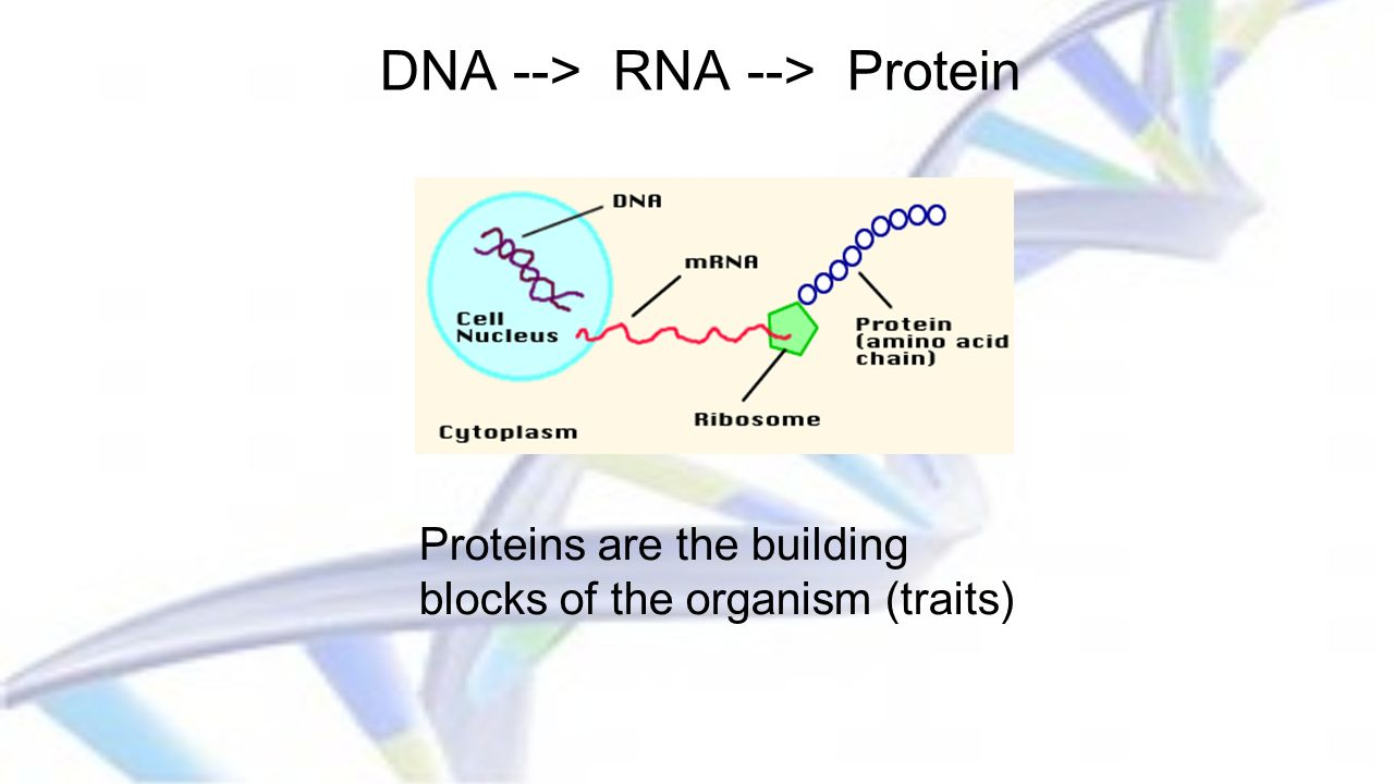 DNA --> RNA --> Protein