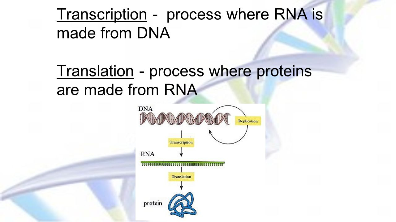 Transcription - process where RNA is made from DNA