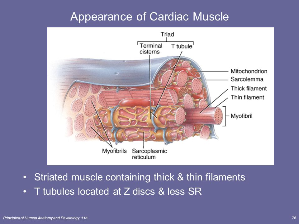 Muscle Tissue Lecture Outline - ppt download