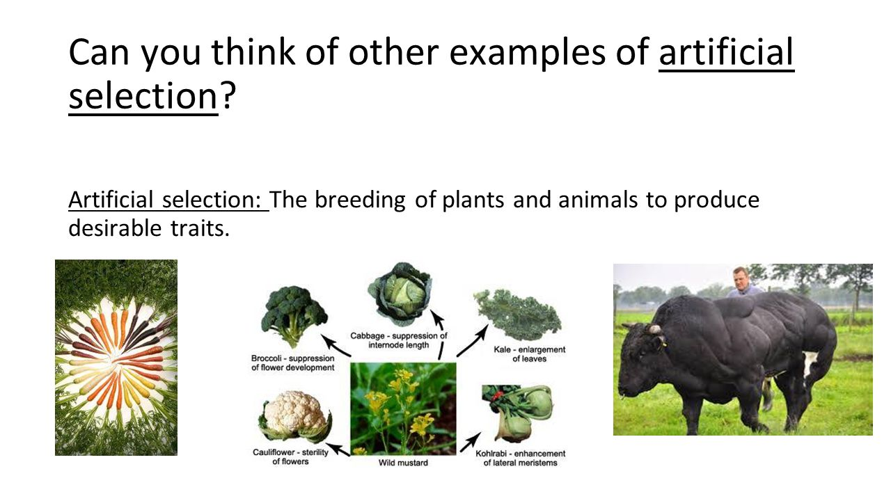 How Does Artificial Selection Change Living Things Over Time Ppt