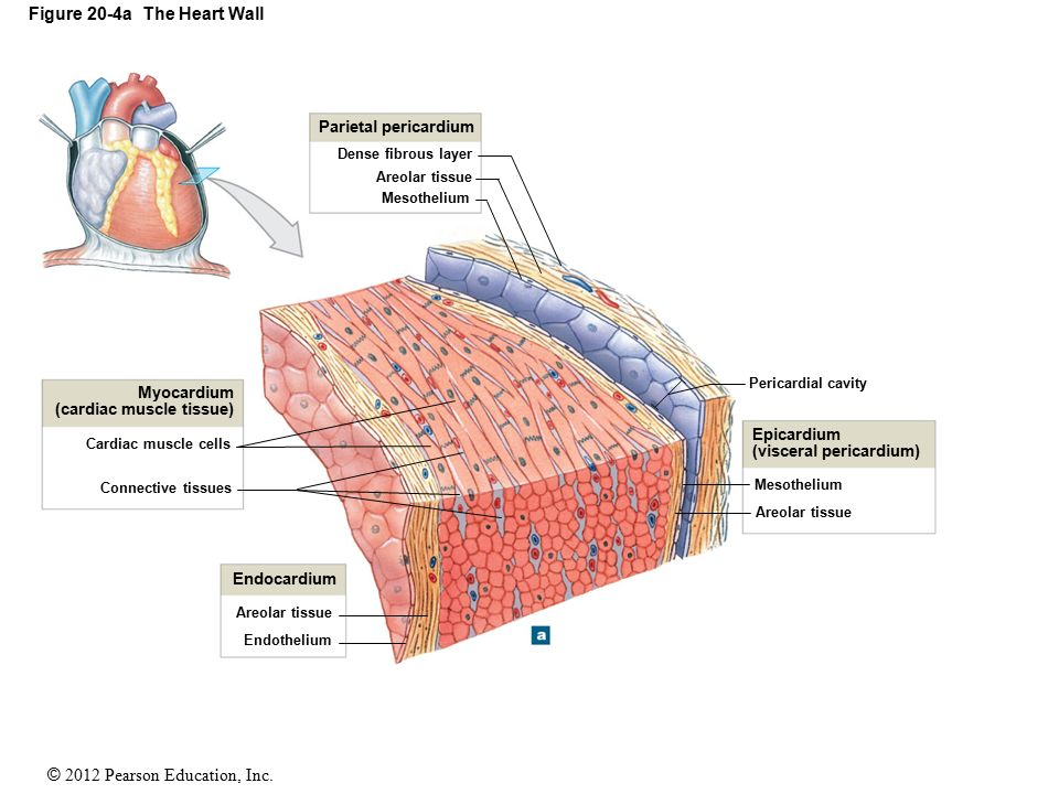 20 the heart ppt download figure 20 4a the heart wall ccuart Image collections
