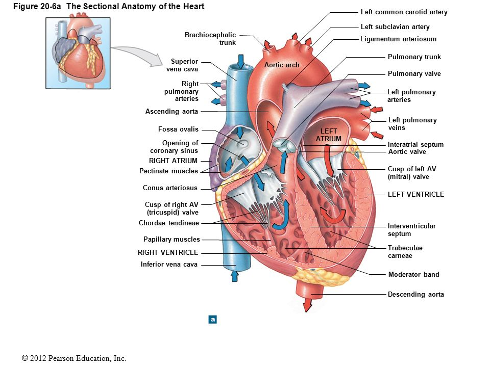 20 The Heart Ppt Download