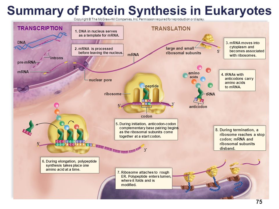 Summary+of+Protein+Synthesis+in+Eukaryotes biology sylvia s mader michael windelspecht ppt download