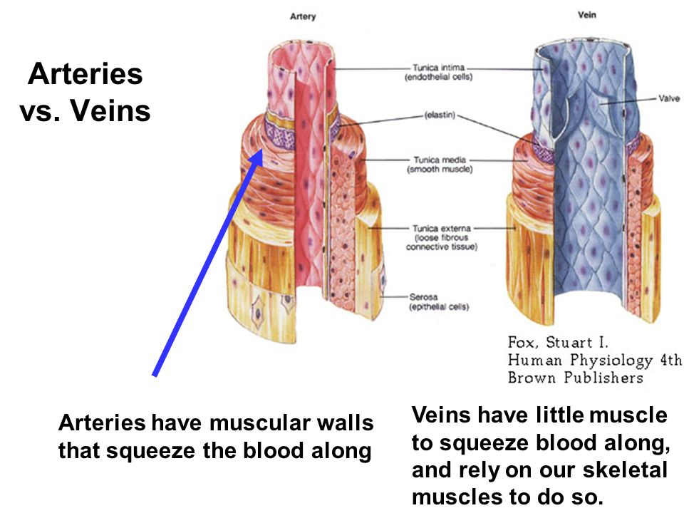 Arteries Veins Capillaries The Heart Vessels Ppt Video Online