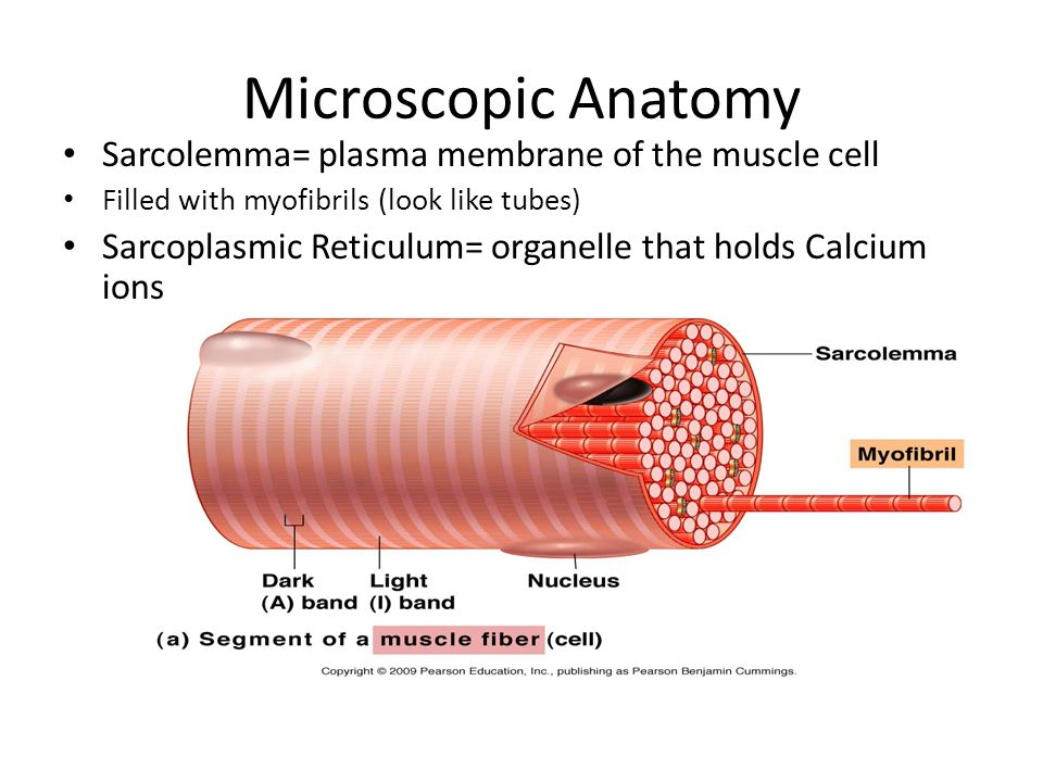 Muscle Contraction. - ppt video online download