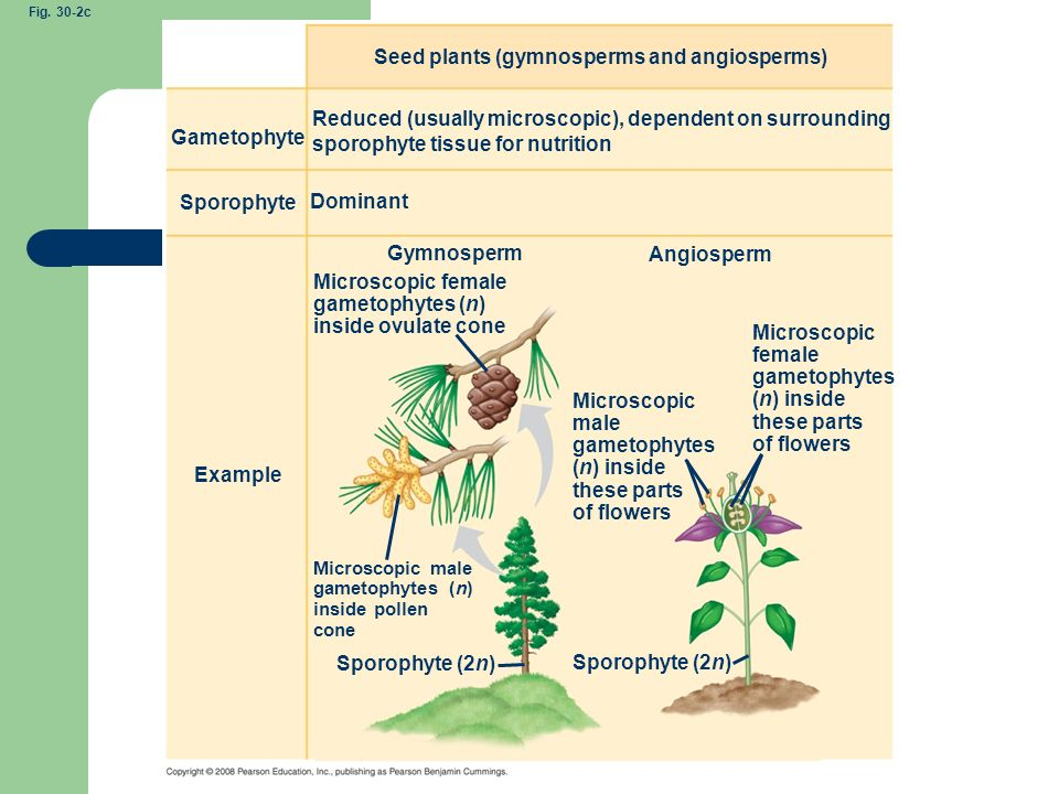 Seed plants (gymnosperms and angiosperms)