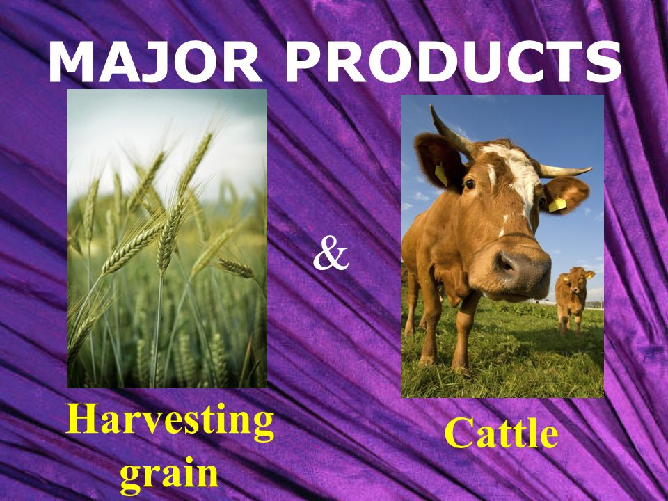MAJOR PRODUCTS & Harvesting grain Cattle