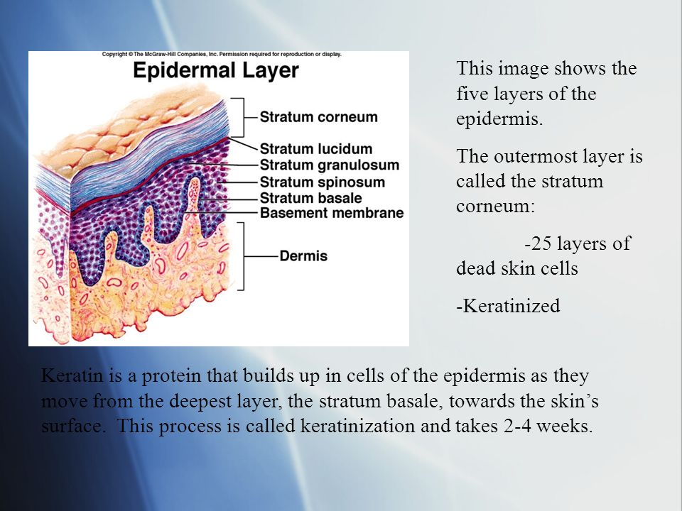 This image shows the five layers of the epidermis.